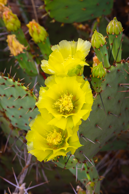 Click image for larger version  Name:Catus Flowers in Big Bend.png Views:2 Size:3.06 MB ID:55905